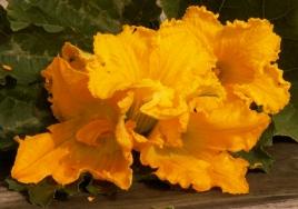 květy tykví