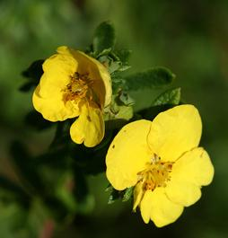 mochna květy a semena