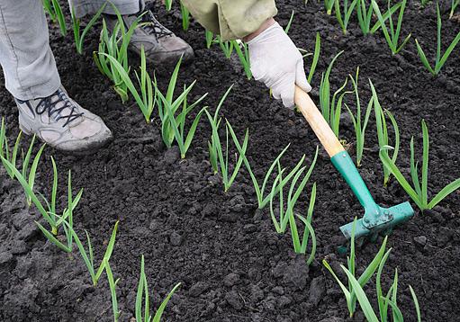 česnek – Allium salivum