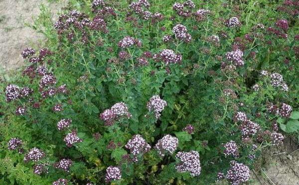 Dobromysl – Origanum vulgare
