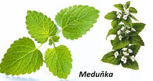 Meduňka – melissa officinalis
