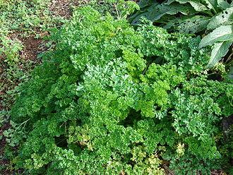 Petržel -Petroselinum crispus