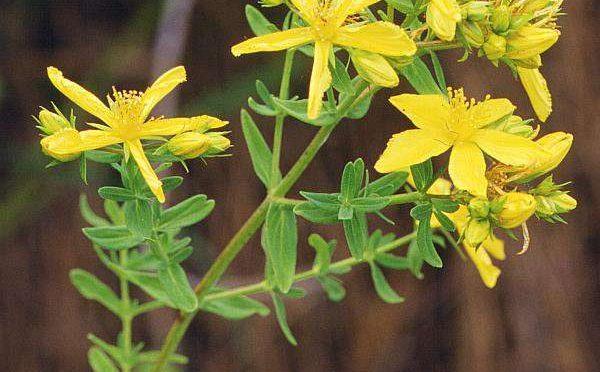 Třezalka – Hybericus perfoliatum