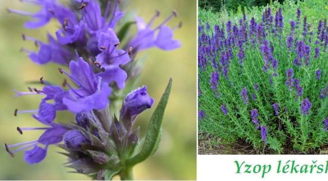 Yzop – Hyssopus officinalis