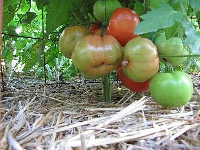 Mulčování rajčat