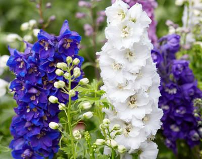 vysoká květina Stračka